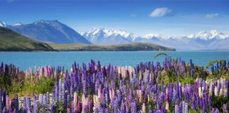 Lake Tekapo (Image Source: bookabach)